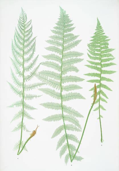 Organic Drawing - A. Athyrium Filix-foemina Rhæticum. B by Litz Collection