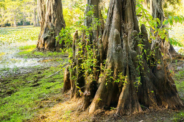Wall Art - Photograph - A Bald Cypress Trunk With Its Little Knees - Texas by Ellie Teramoto