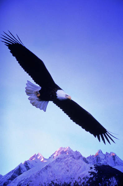 Bald Mountain Photograph - A Bald Eagle Flies Over Alaskas Chilkat by Cary Anderson