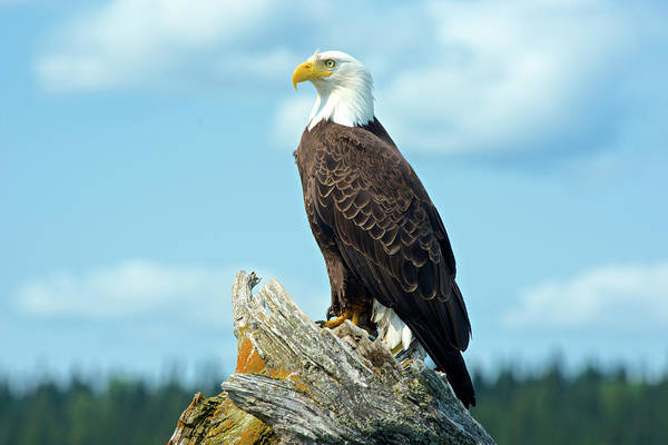 Haliaeetus Leucocephalus Photograph - A Bald Eagle Perching On A Dead Tree by Richard Wright