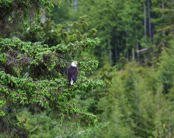 A Bald Headed Eagle Perches On A Fir Art Print