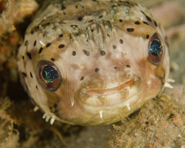 Balloonfish Photograph - A Balloonfish Diodon Holocanthus by Brent Barnes