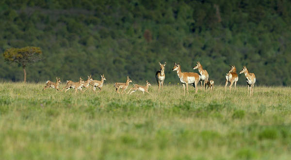 Pronghorn Antelope Wall Art - Photograph - A Band Of Pronghorn Antelope by Maresa Pryor