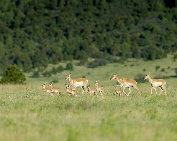 Pronghorn Antelope Wall Art - Photograph - A Band Pronghorn Antelope by Maresa Pryor