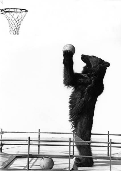 Photograph - A Basketball Bear by Underwood Archives