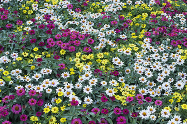 Zinnia Flower Wall Art - Photograph - A Bed Of Color  by Tim Gainey