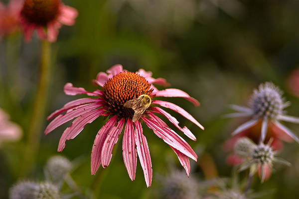 Wall Art - Photograph - A Bee And A Battered Flower by Samantha Eisenhauer