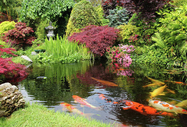 Ornamental Fish Photograph - A Big Koi Pong With Orange Fish And by Basieb