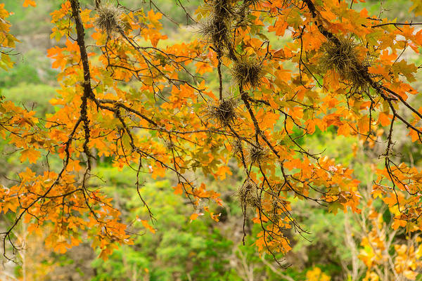 Wall Art - Photograph - A Bigtooth Maple In Orange by Ellie Teramoto