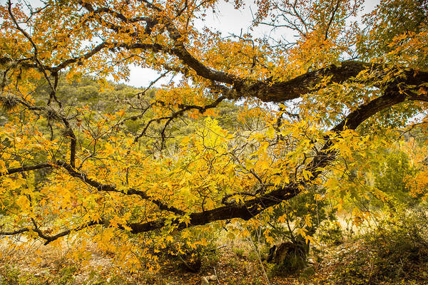 Wall Art - Photograph - A Bigtooth Maple In Yellow by Ellie Teramoto