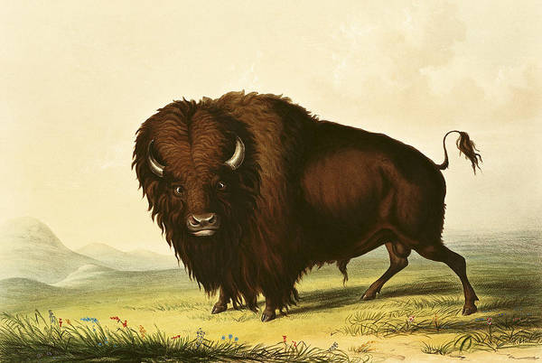 Flag Drawing - A Bison by George Catlin