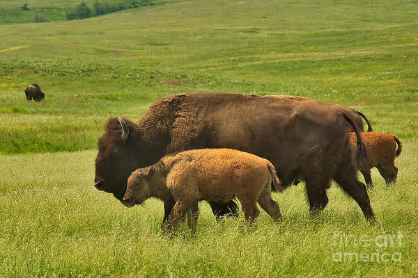 Photograph - A Bison Family Affair by Charles Kozierok