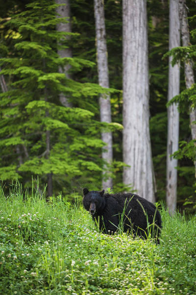 Cedar Tree Photograph - A Black Bear Ursus Americanus Feeding by Joel Koop / Design Pics