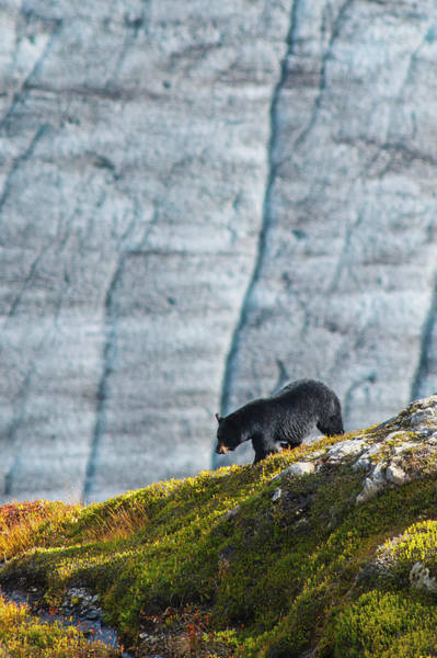 Wall Art - Photograph - A Black Bear With Exit Glacier by Michael Jones
