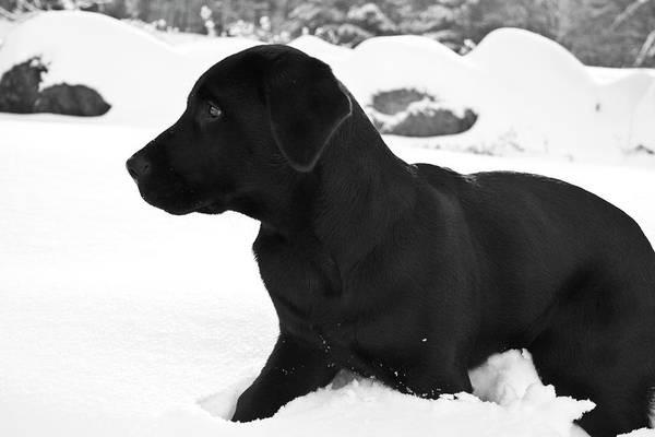 Labrador Retriever Photograph - A Black Labrador Retriever Puppy Plays by Jose Azel