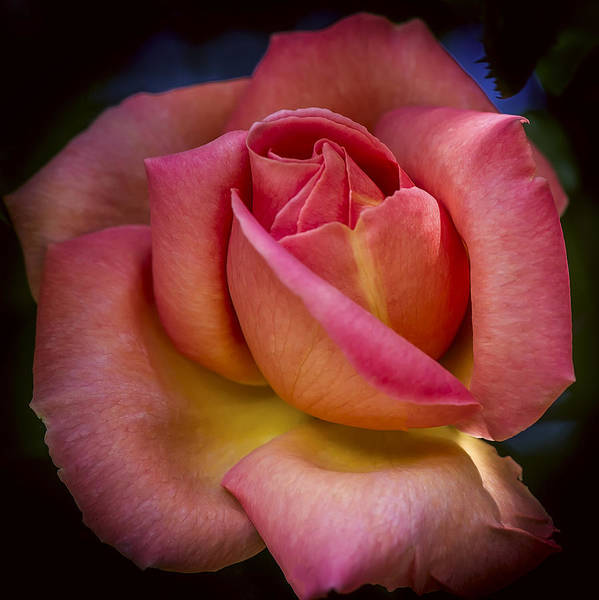Photograph - A Blooming Rose by Mark Lucey