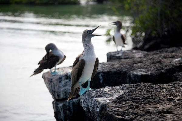 Santa Cruz Island Wall Art - Photograph - A Blue Footed Boobie Sula Nebouxii by Eric Rorer