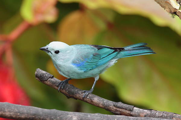 Cahuita Photograph - A Blue-gray Tanager, Thraupus by George Grall