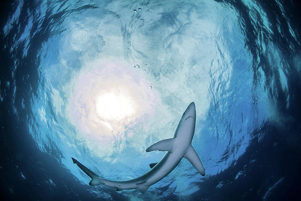 Wall Art - Photograph - A Blue Shark Circling Just Above, South by Alessandro Cere