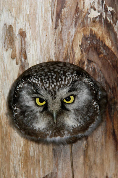 Wall Art - Photograph - A Boreal Owl In The Hollow Of A Tree by Michael S. Quinton