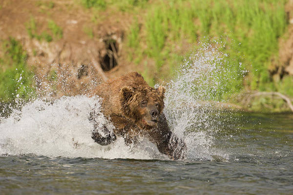 Brooks Photograph - A Brown Bear Dives After Red Salmon by Hugh Rose