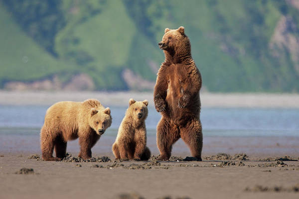 Grizzly Bears Photograph - A Brown Bear Mother And Cubs Walks by Hugh Rose