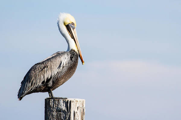 Wall Art - Photograph - A Brown Pelican In Pastel Colors - Texas by Ellie Teramoto