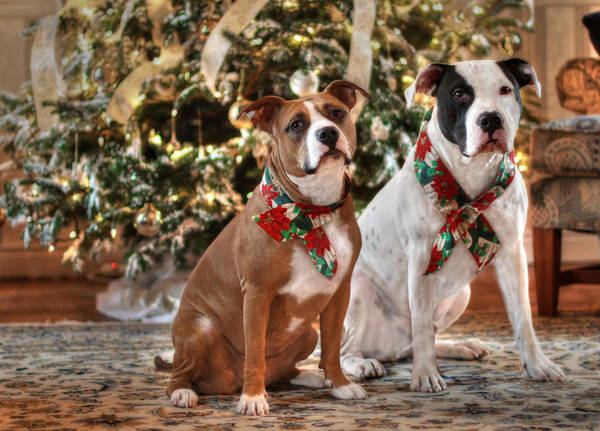 Photograph - A Bubba And Kensie Christmas - No Text by Shelley Neff