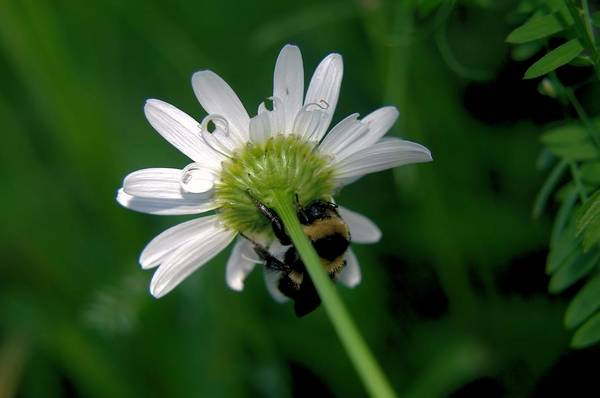 Little Things Photograph - A Bumble On The Wrong Side by Jeff Swan