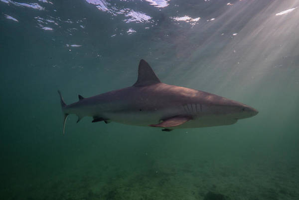 Wall Art - Photograph - A Carribbean Reef Shark Swims by Andy Mann