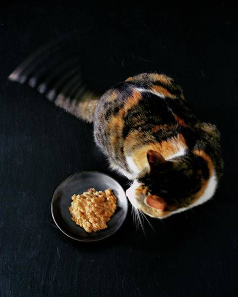 Pet Care Photograph - A Cat Beside A Dish Of Cat Food by Romulo Yanes