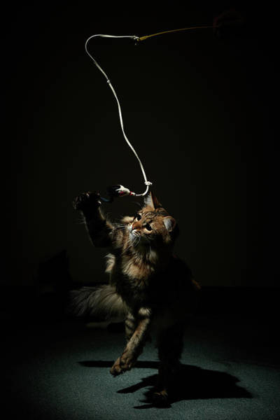 Long Hair Cat Photograph - A Cat Chasing A String In Narrow by Akimasa Harada