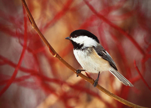 Spruce Photograph - A Chickadee Sits On A Tree Branch With by Steve Nagy / Design Pics