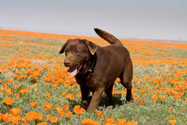 California Poppy Photograph - A Chocolate Labrador Retriever Walking by Zandria Muench Beraldo