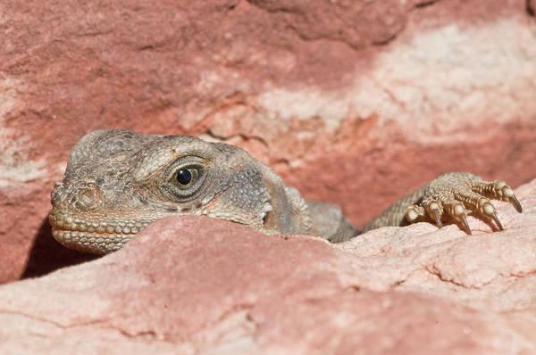 Chuckwalla Photograph - A Chuckwalla At Red Rocks National by Alasdair Turner