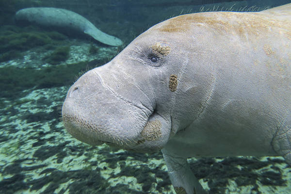 West Indian Manatee Photograph - A Close-up Head Profile Of A Manatee by Michael Wood