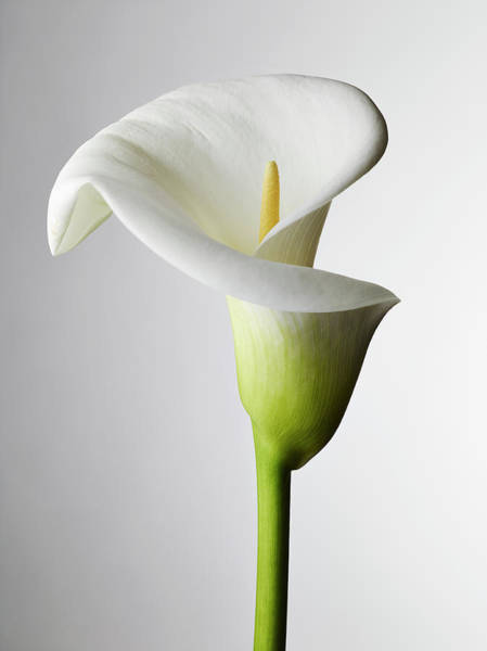 Elegance Photograph - A Close-up Of A Calla Lily, Stamen by Larry Washburn