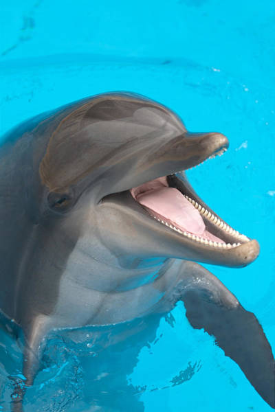 A Close-up Of A Happy Dolphin Swimming Art Print by To_csa