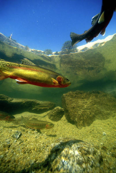 Wall Art - Photograph - A Close Up View Of Trout In Lake by Peter Essick