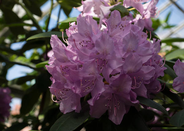 Azalia Photograph - A Cluster Of Hot Pink Rhododendron Flowers by Georgia Mizuleva