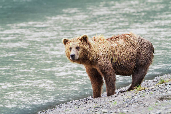 Grizzly Bear Photograph - A Coastal Brown Bear Sow Stands On A by John Delapp / Design Pics