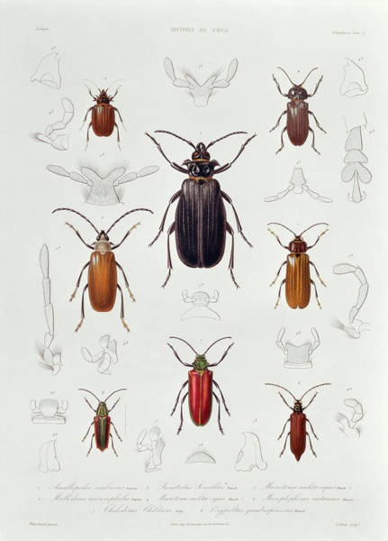 Invertebrate Wall Art - Photograph - A Collection Of Coleoptera Found In Chile, Illustration From Historia De Chile, Engraved By Lebrun by French School