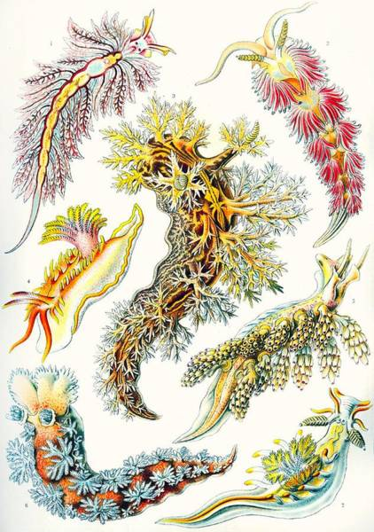 Zoological Wall Art - Drawing - A Collection Of Nudibranchia by Ernst Haeckel