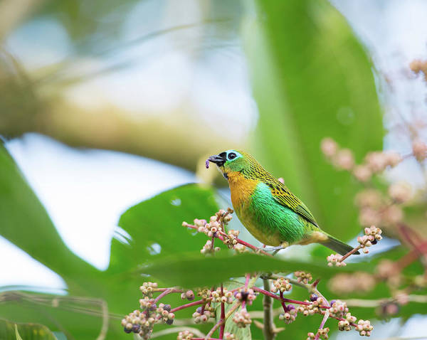 Wall Art - Photograph - A Colorful Brassy-breasted Tanager by Alex Saberi