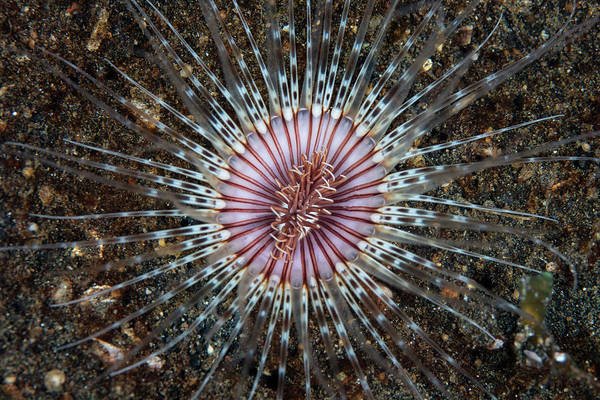 Tube Anemone Photograph - A Colorful Cerianthid Tube-dwelling by Ethan Daniels