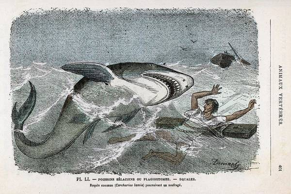 Wall Art - Drawing - A Common Shark (carcharias Lamia) by Mary Evans Picture Library