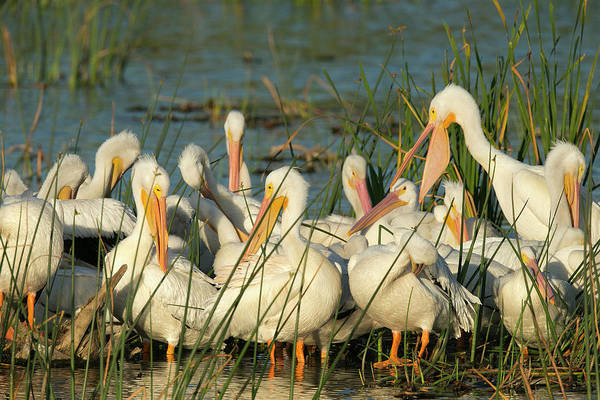 Bulrush Wall Art - Photograph - A Congregation Of White Pelicans by Maresa Pryor