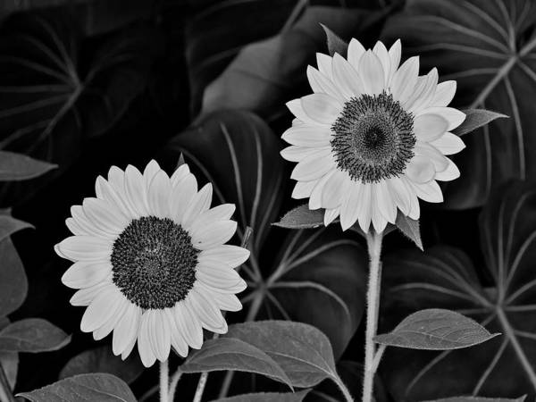 Photograph - A Couple Of Sunflowers. by Digital Photographic Arts