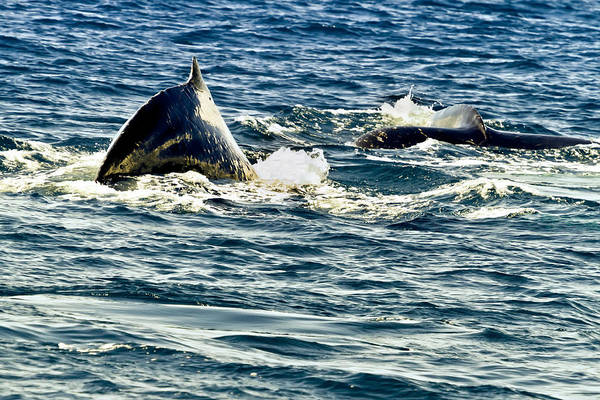 Photograph - A Couple Of Whales by Belinda Greb
