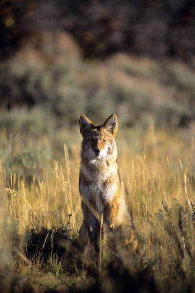 Perky Photograph - A Coyote Canis Latrans Stares by Jeff Diener